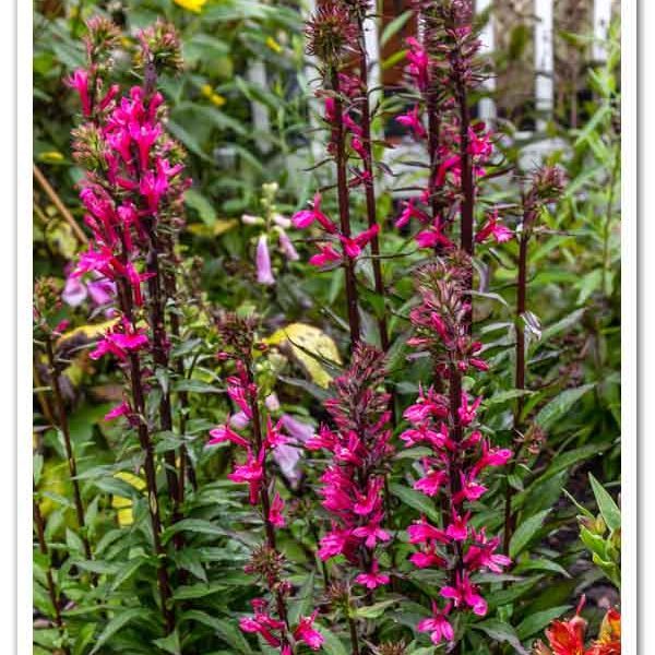 Lobelia Starship Deep Rose, Cardinal Flower