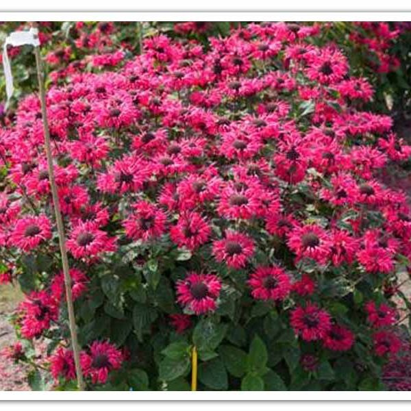 Monarda Bee-You Bee-Happy, Bee Balm