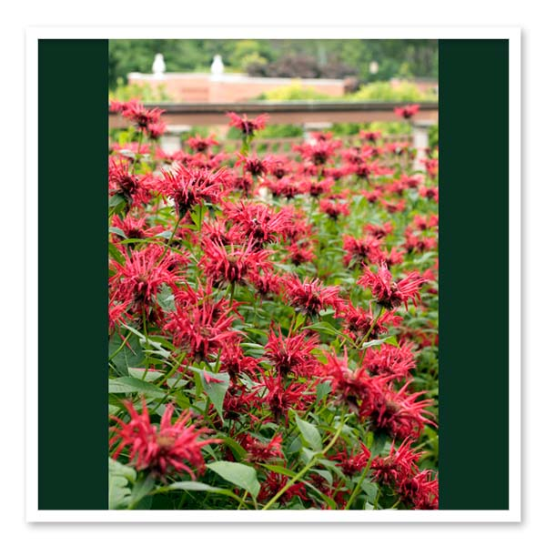 Monarda Jacob Cline, Bee Balm