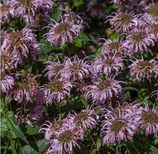Monarda bradburiana, Bee Balm