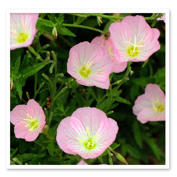 Oenothera Siskiyou Pink, Showy Evening Primrose