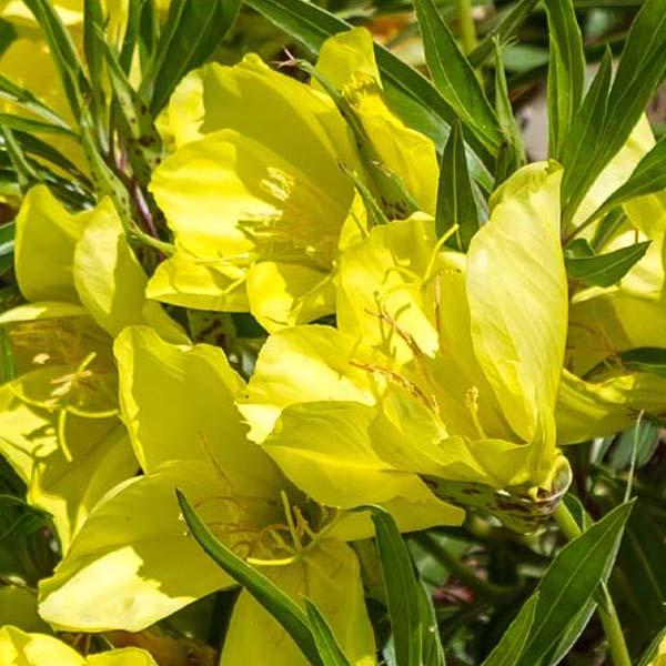 Oenothera macrocarpa, Missouri Evening Primrose