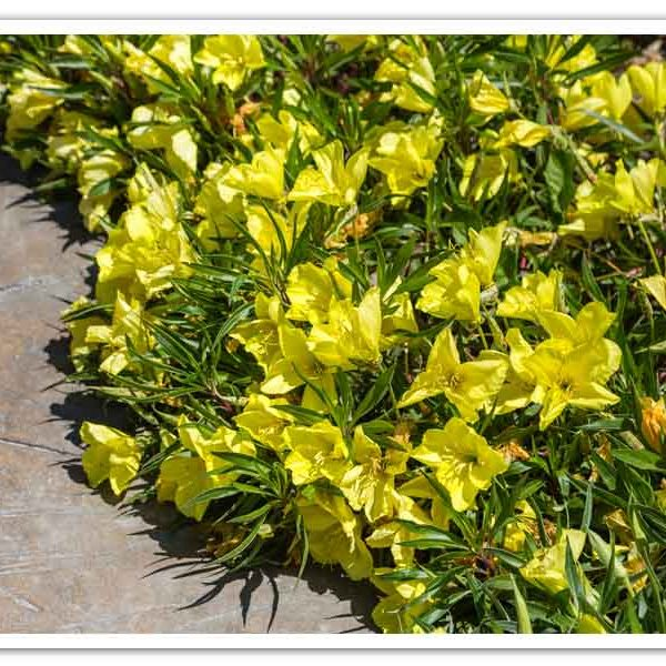 Oenothera macrocarpa, Missouri Evening Primrose
