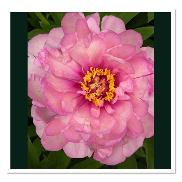 Paeonia Itoh First Arrival, Intersectional Peony