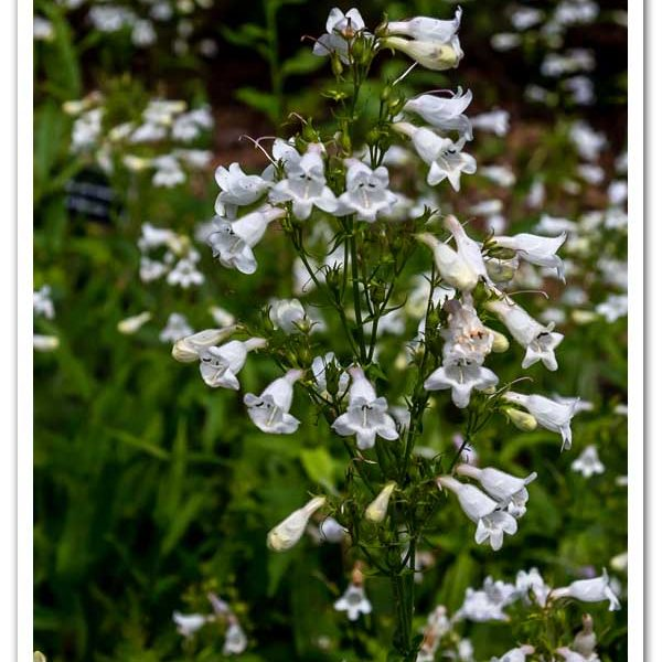 Penstemon digitalis, Smooth White Beardtongue