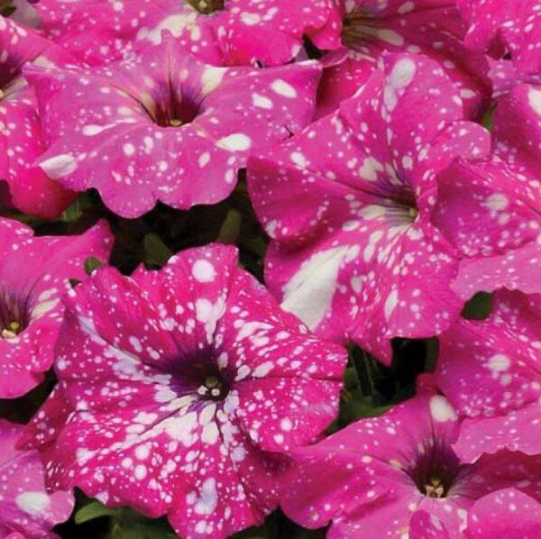 Petunia Pink Sky