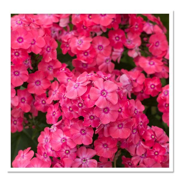 Phlox Glamour Girl, Garden Phlox