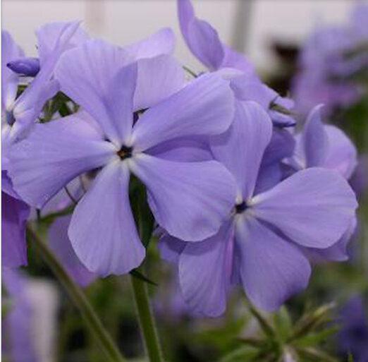Phlox divaricata Blue Moon, Wild Sweet William