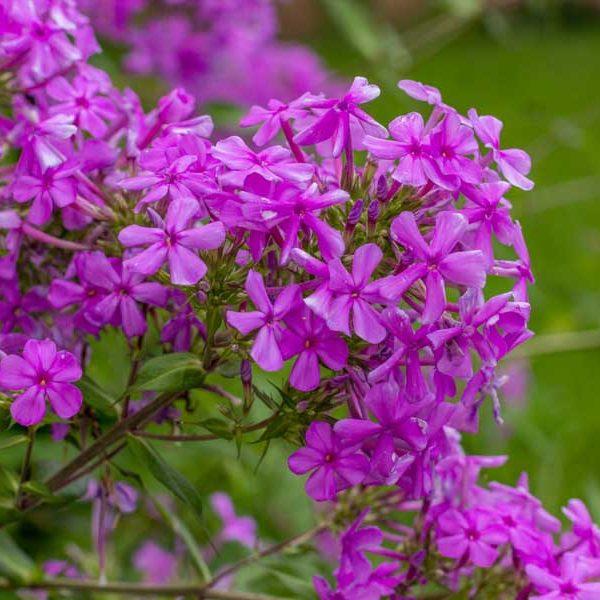 Phlox paniculata, Garden Phlox