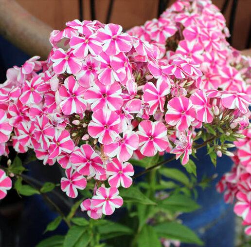 Phlox paniculata Peppermint Twist, Garden Phlox