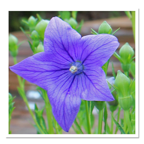 Platycodon grandiflorus Fuji Blue, Balloon Flower