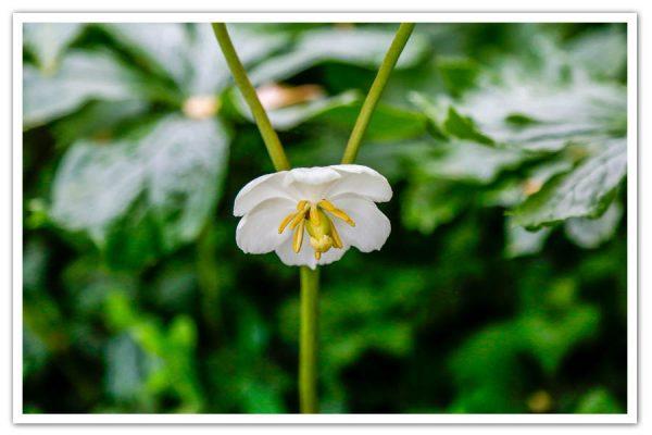 Podophyllum pelatatum, Mayapple