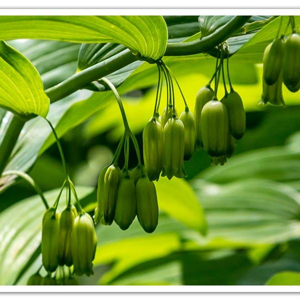 Polygonatum biflorum, Solomon's Seal