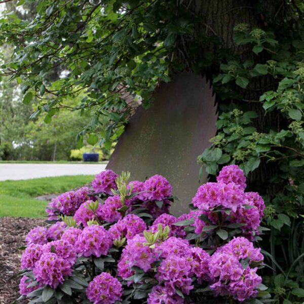 Rhododendron Dandy Man Purple