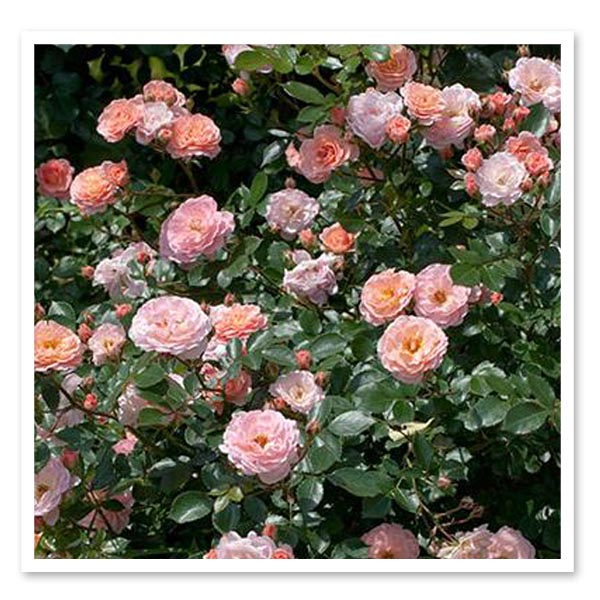 Rose Drift Apricot, Ground Cover Rose