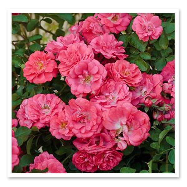 Rose Coral Drift, Ground Cover Rose