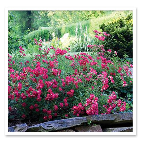 Rose Drift Red, Ground Cover Rose