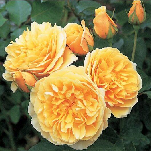 Rose Graham Thomas, English Rose