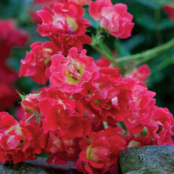 Rose Drift Red Ground Cover Rose