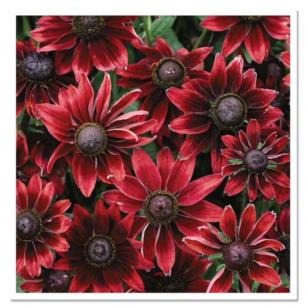 Rudbeckia Cherry Brandy, Black-Eyed Susan