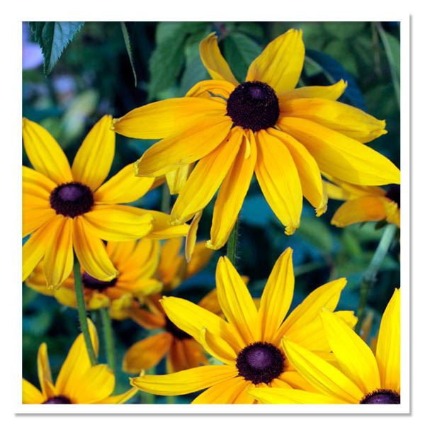 Rudbeckia Indian Summer, Black-Eyed Susan