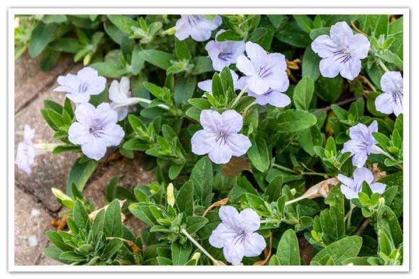 Ruellia hymilis, Wild Petunia