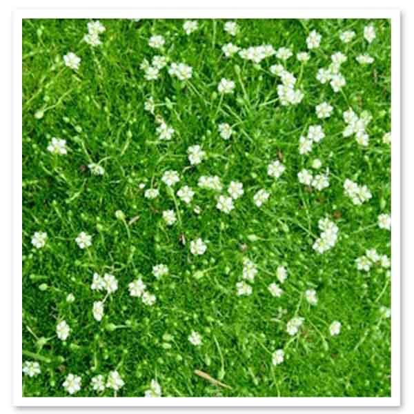 Sagina subulata, Irish Moss