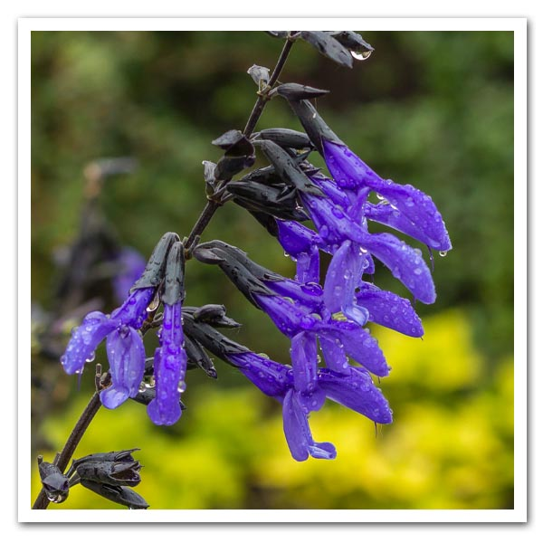 Salvia Black and Bloom, Anise Scented Sage
