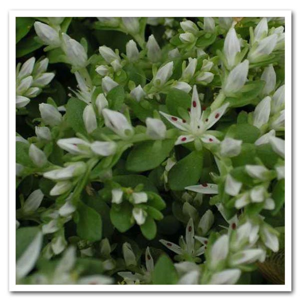 Sedum ternatum, Three-Leafed Stonecrop