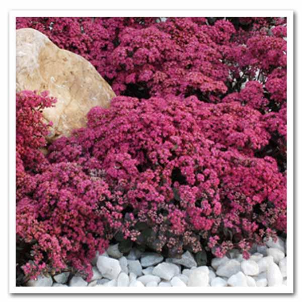 Sedum Dazzleberry, Stonecrop