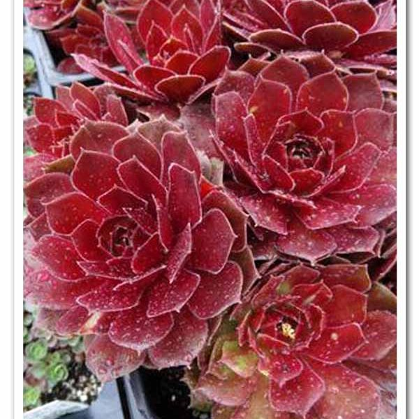 Sempervivum Chick Charms Cherry Berry, Hen & Chicks