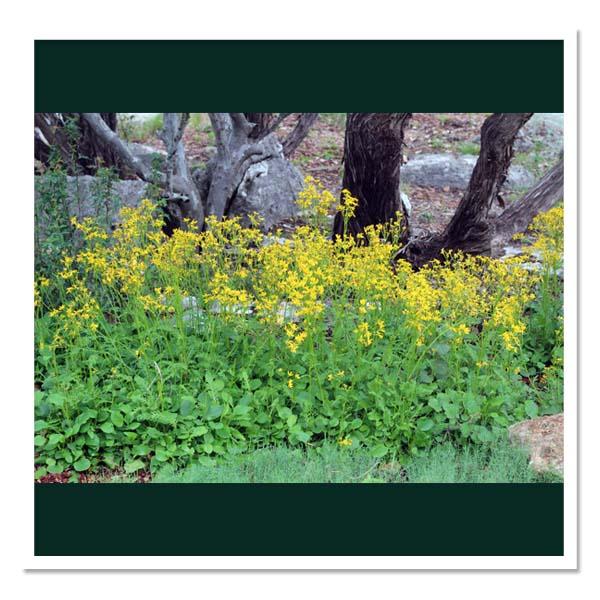 Packera obovata, Squaw Weed