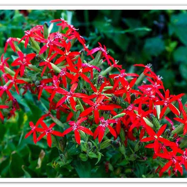 Silene regia, Royal Catchfly