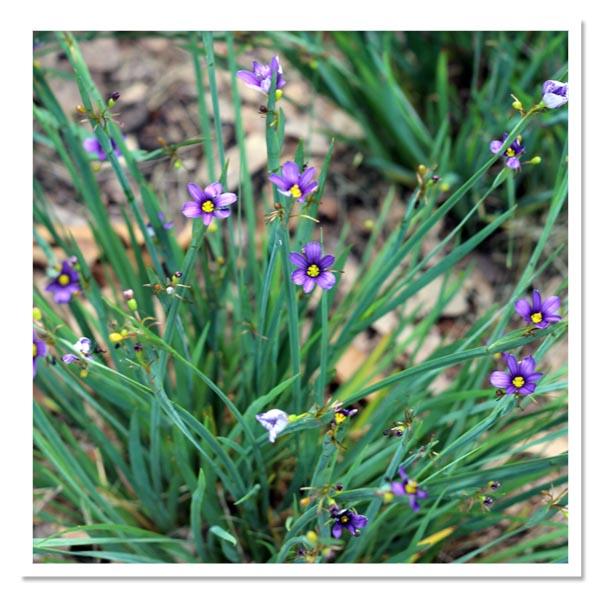 Sisyrinchium angustifolium Lucerne, Blue-Eyed Grass
