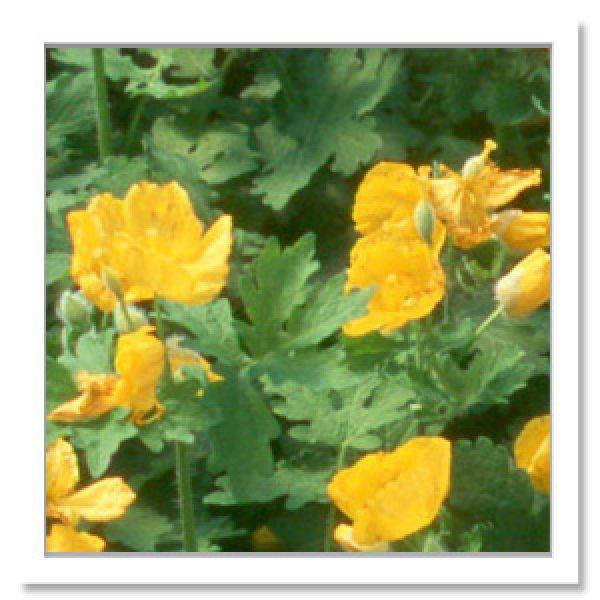 Stylophorum diphyllum, Celandine Poppy