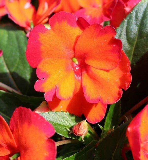 New Guinea Impatiens SunStanding Flame Orange