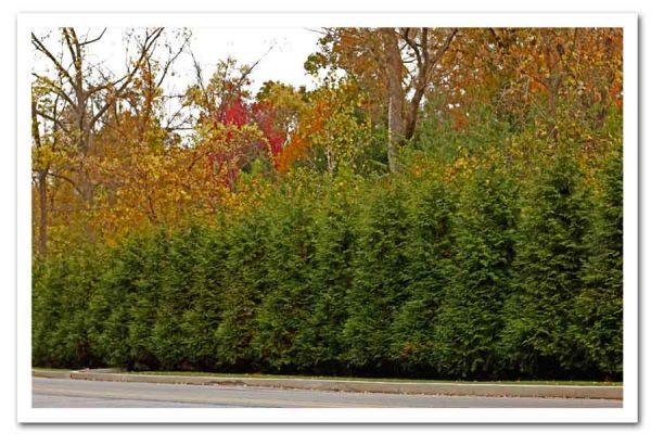 Thuja Green Giant, Arborvitae