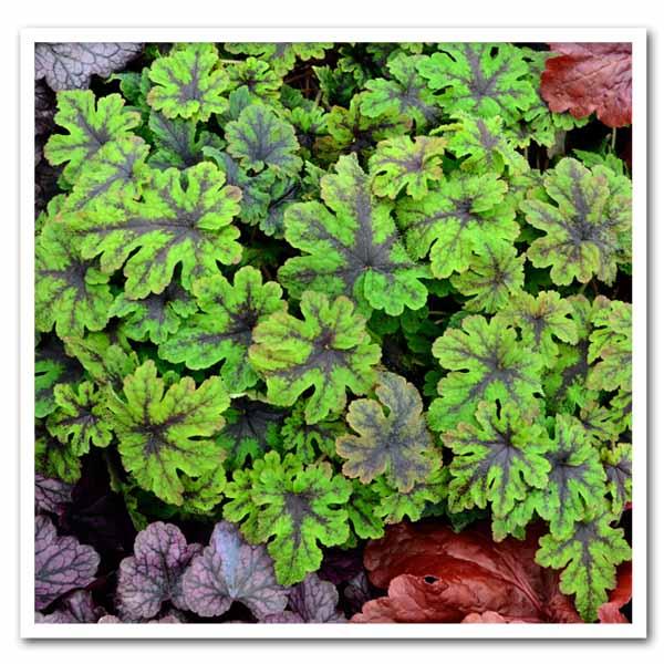 Tiarella Fingerpaint, Foam Flower