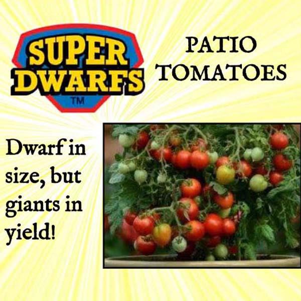 Tomato Rosella Purple Super Dwarf Tomato