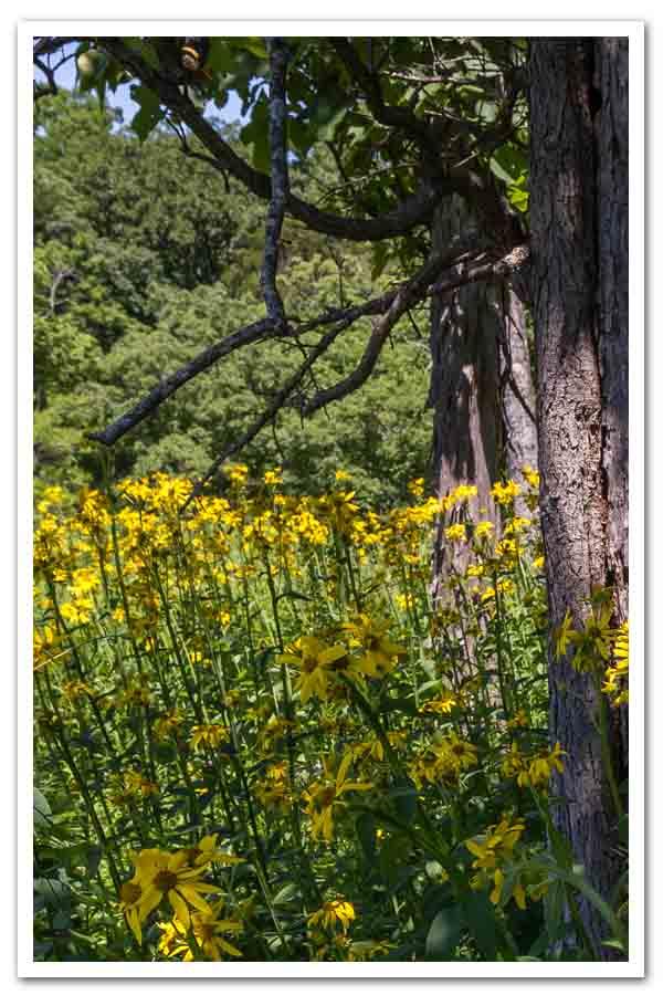 Verbesina helianthoides, Yellow Crown Beard