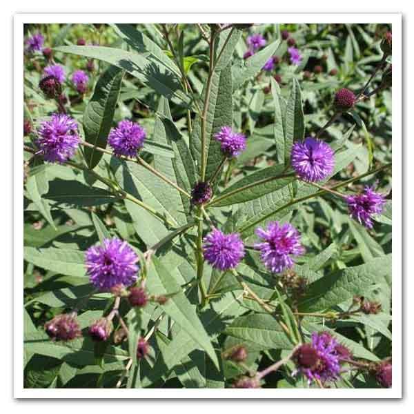 Vernonia arkansana, Curlytop Ironweed