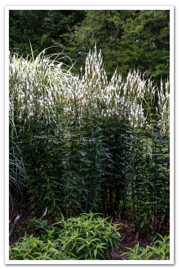 Veronicastrum virginicum, Culver's Root