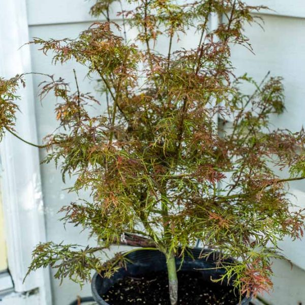 Acer Baby Lace, Japanese Maple