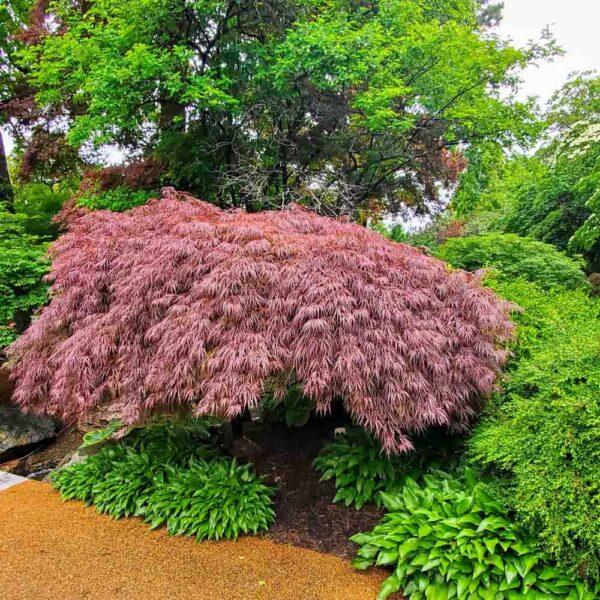 Acer Crimson Queen Japanese Maple