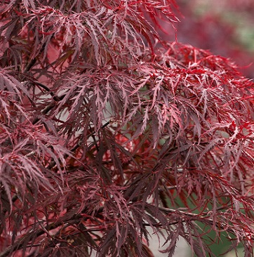 Acer Red Dragon