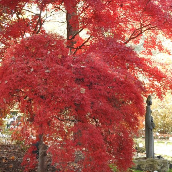 Acer Red Dragon, Japanese Maple