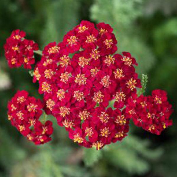 Achillea-Hearthrob yarrow flower