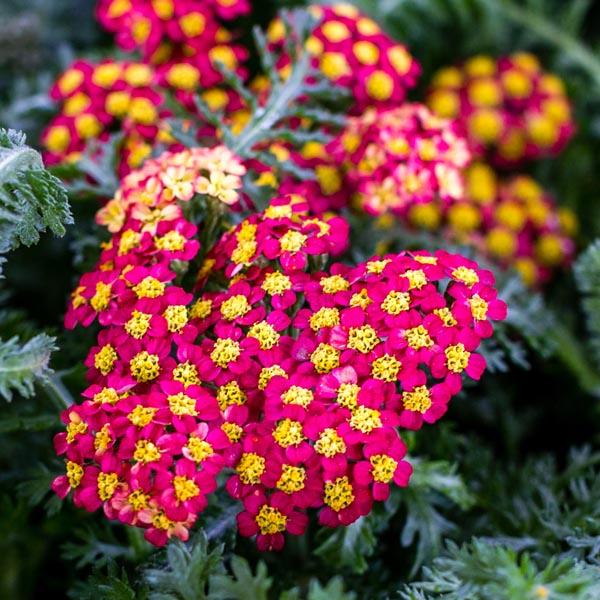 Achillea-Milly-Rock-Red-Yarrow-flower