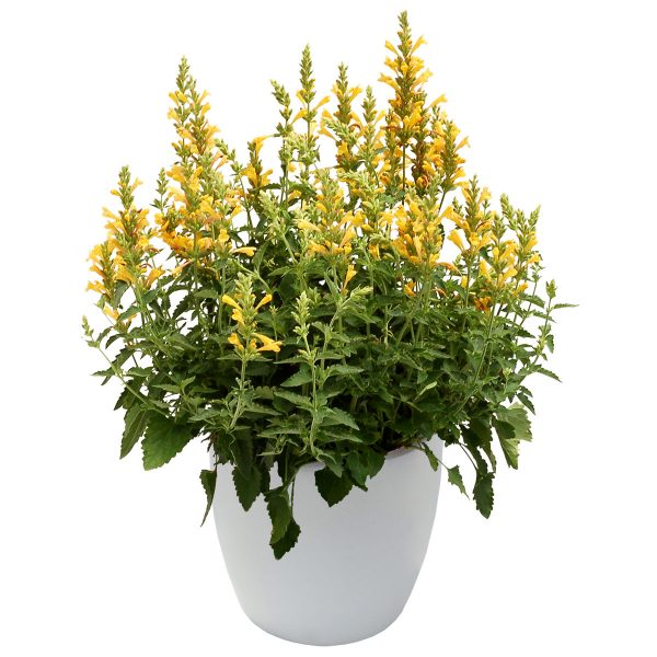 Agastache Kudos Yellow Hummingbird Mint