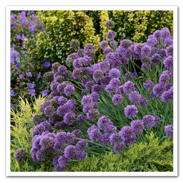 Allium-Medusa-Ornamental-Onion